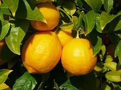 Lemon essential oil, wildcrafted
